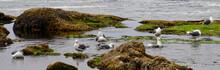 Sea Gulls Bathing In Fresh Water Tide Pools