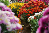 View of fresh beautiful colorful chrysanthemum flowers outdoors