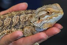 BioexoAdult Bearded Dragon (agama, Pogona Vitticeps) Lizard In The Hand