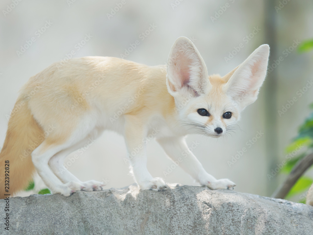 Fototapety, obrazy: fennec fox, Desert fox, or Vulpes Zerda, alert beautiful small animal.