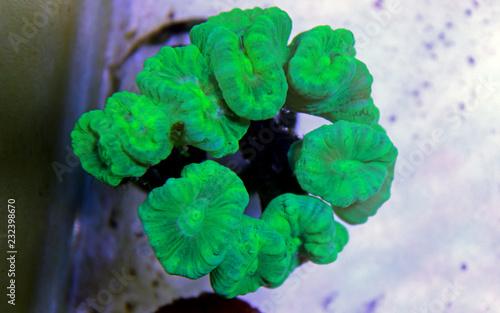 Green furcata lps coral