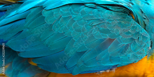 Photo sur Toile Les Textures Closeup blue and gold macaw feather