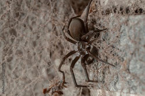 Southern House Spider (Kukulcania hibernalis) Wallpaper Mural