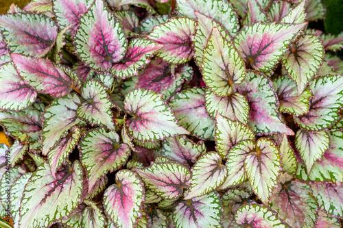 Fotomural Begonia leaves  rex-cultorum