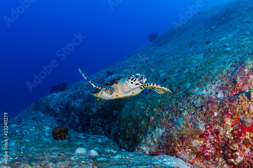 Foto op Canvas Duiken Beautiful Hawksbill Sea Turtle swimming on a coral reef at dawn