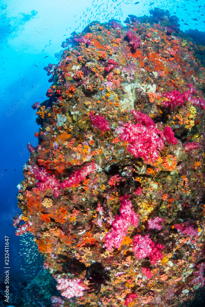 Beautiful, colorful soft corals on a thriving tropical coral reef in Thailand (Richelieu Rock)