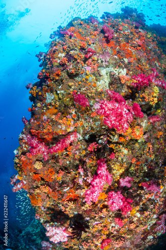 Fototapety, obrazy: Beautiful, colorful soft corals on a thriving tropical coral reef in Thailand (Richelieu Rock)