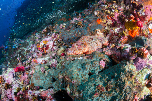 Staande foto Colorful Bearded Scorpionfish on a dark tropical coral reef (Richelieu Rock, Thailand)