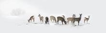 Herd Of Wild Deers Isolated In...