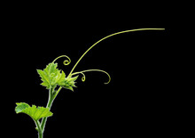 Green Plant Twig With Leaves And Tendrils On Black Background