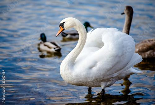 Fototapeta premium Swans and ducks swim in the lake