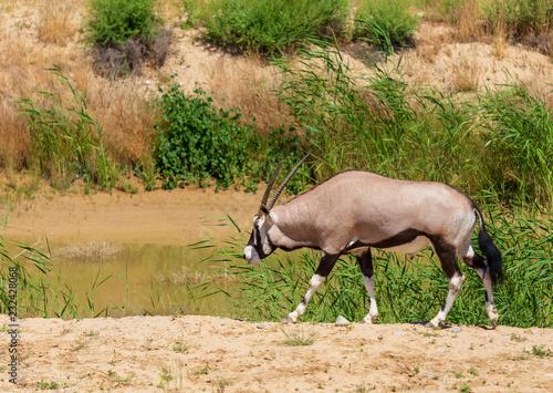 Keuken foto achterwand Antilope Antelope grazes in the wild