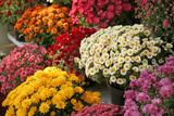 Pots with beautiful chrysanthemum flowers