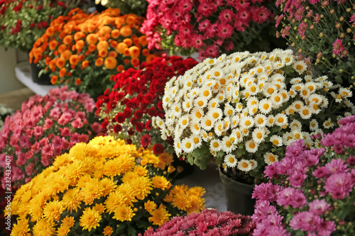 Pots with beautiful chrysanthemum flowers Fototapeta
