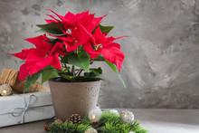 Christmas Flower Poinsettia With Gift Boxes On Grey Table
