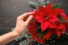 Woman With Christmas Flower Poinsettia, Closeup