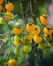 Branch Of Yellow Tomatoes