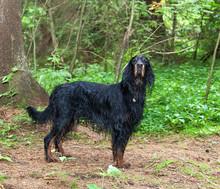 Dog Breed  Setter Gordon In Su...