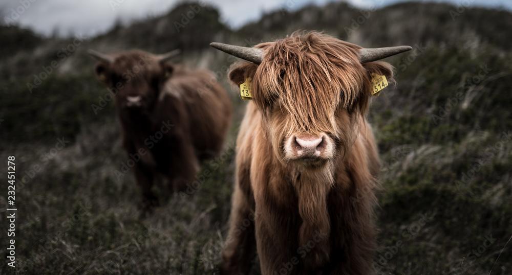 Fototapeta Kuh in Niederlanden
