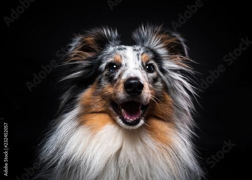 Portrait of Sheltie isolated on black background - 232452057