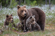 Brown Bear Mother With Cubs / ...
