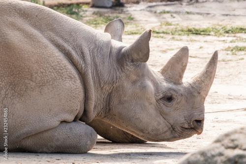 Detail of a rhinoceros head lying.