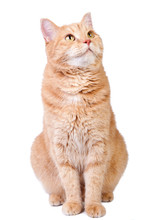Looking Up Cute Red Cat Isolated On White Background.