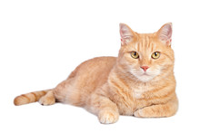 Lying Tabby Ginger Cat Isolated On White Background.