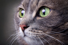 Close Up Portrait Of Gray Cat With Green Eyes.
