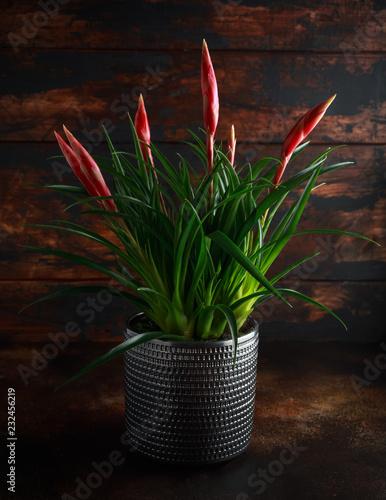 Photo  Bromelia Vriesea Multiflora Astrid