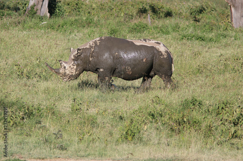 In de dag Neushoorn Rare Black Rhino Kenya
