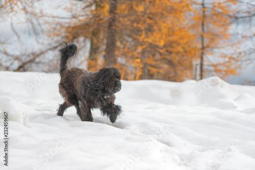 Shepherd dog walks in the snow in autumn Wallpaper Mural