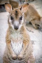 Agile Wallaby Joey (Macropus Agilis)