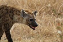 Hyena In Kenya