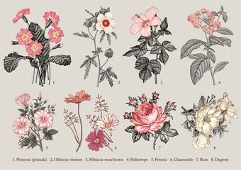 Botanika. Postavite vintage medicinsko realistično izolirano cvijeće. Priroda barok. Crtanje gravure. Vector background victorian Illustration Primrose primula Hibiscus Heliotrope Petunia Chamomile Rose Dogrose