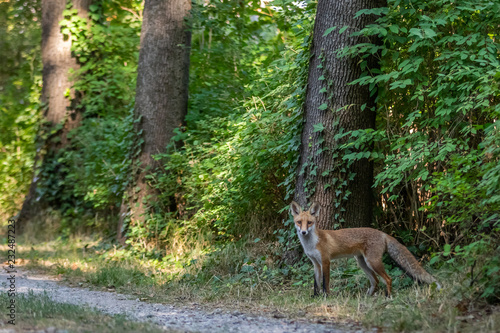 Printed kitchen splashbacks Khaki Red fox (Vulpes vulpes)