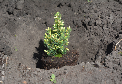 Picea glauca 'Conica' planting in the garden