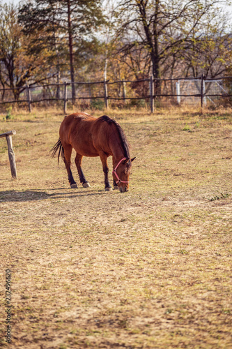 Photo  Domestic Horses - Portrait of Beautiful horse grazing in farm.