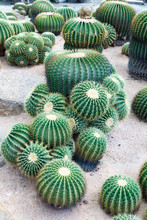 The Beautiful Group Of Big Green Cactus Planted In A Botanical Garden.