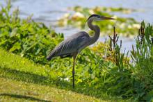 Great Blue Heron In Park