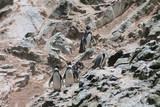 Gruppe Humboldpinguine auf den Islas Ballestas