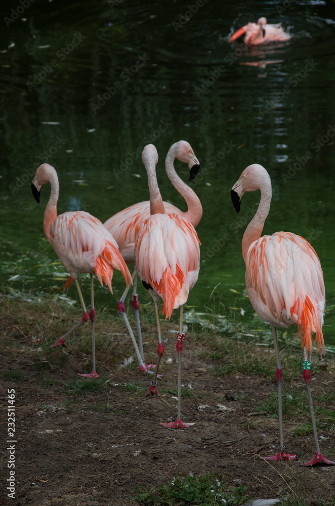 Flamingos by water