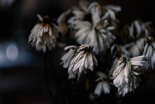 Bouquet Of Faded White Chrysan...