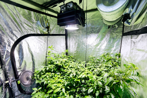 Photo  Chilli Plants Growing with Ventilation Inside a Tent on Commercial Premises