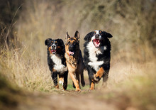 Group Of Dogs Running The Field