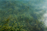 Background of algae under water in a small pond