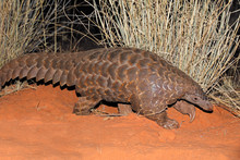 Temmincks Ground Pangolin (Man...