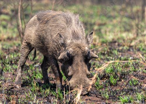 Photo Warthog (Phacochoerus africanus)
