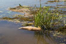 Dead Fish In The Rhine River, ...