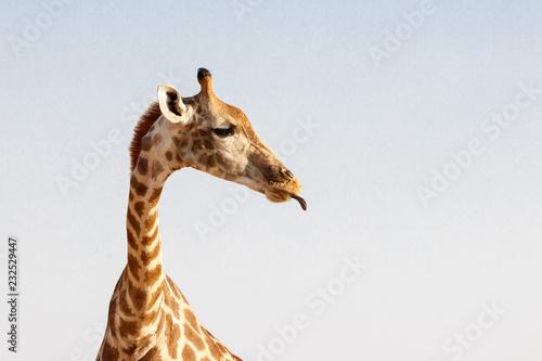 Photo Giraffe mit herausgestreckter Zunge